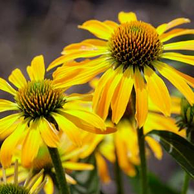 Echinacea x 'Butterfly Golden Skipper'