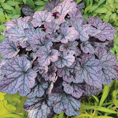 Heuchera x 'Grape Expectations'