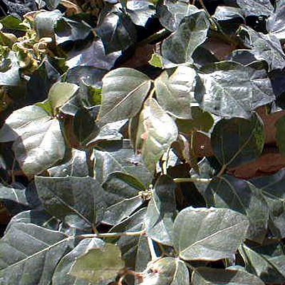 Cissus rhombifolia 'Grape Ivy'