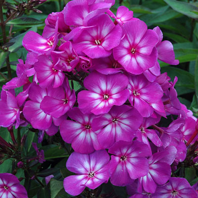 Phlox p. 'Grape Lollipop'