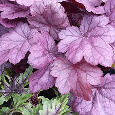 Heuchera x 'Grape Soda'