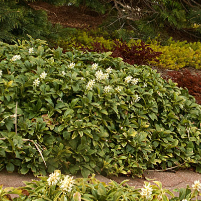 Pachysandra t. 'Green Carpet'