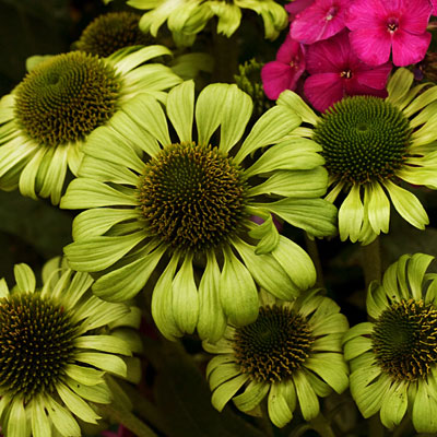 Echinacea p. 'Green Jewel'