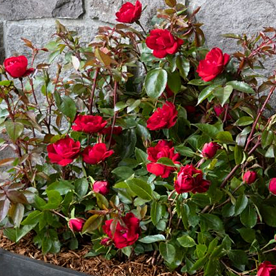 Rosa 'Grace N' Grit Red'