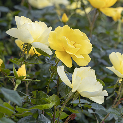 Rosa 'Grace N' Grit Yellow'