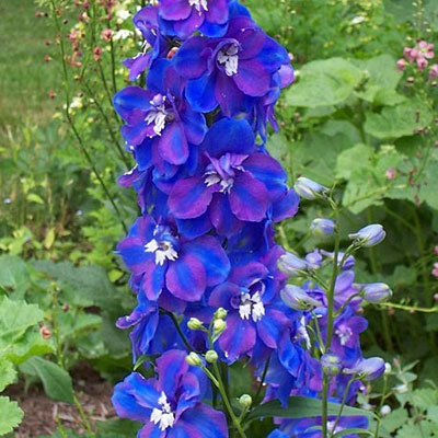 Delphinium x 'Guardian Blue'