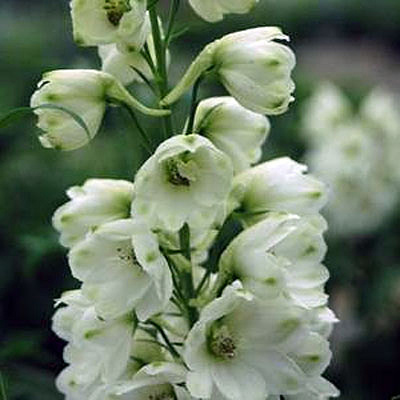 Delphinium x 'Guardian White'