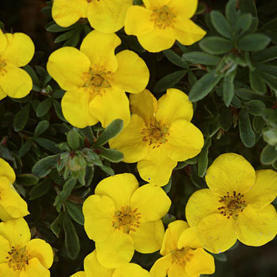 Potentilla f. 'Happy Face Yellow'