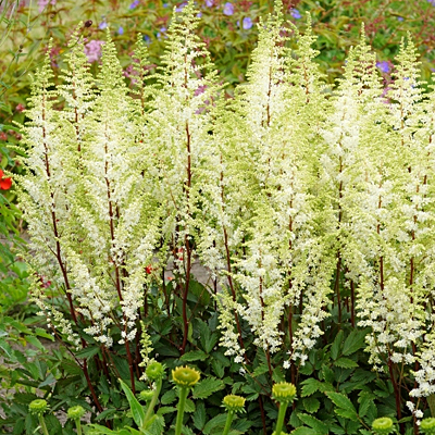Astilbe x 'Happy Spirit'