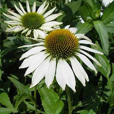 Echinacea purpurea 'Happy Star'