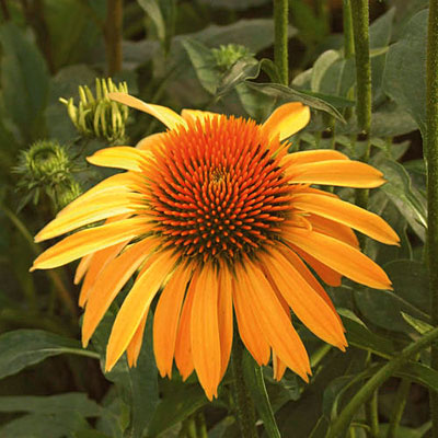 Echinacea x 'Big Sky Harvest Moon'