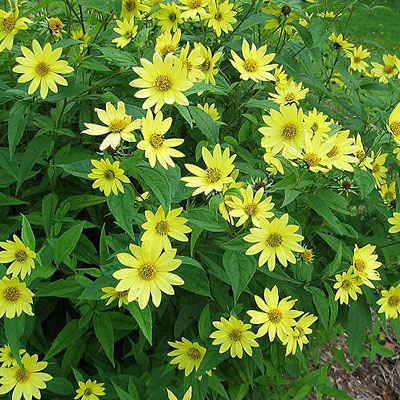 Helianthus x 'Lemon Queen'
