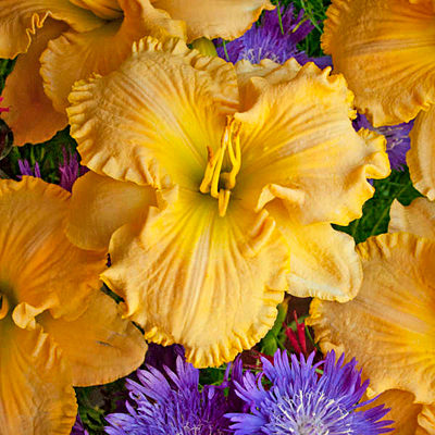 Hemerocallis 'Collier'
