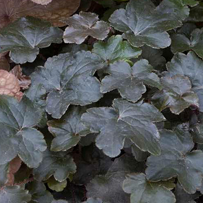 Heuchera x 'Blackout'