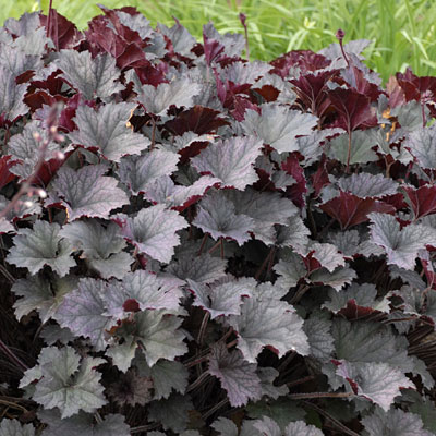 Heuchera x 'Frosted Violet'