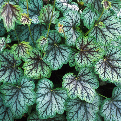 Heuchera x 'Green Spice'