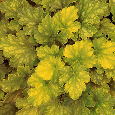 Heuchera x 'Dolce Key Lime Pie'