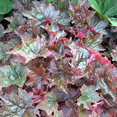 Heuchera m. 'Palace Purple'