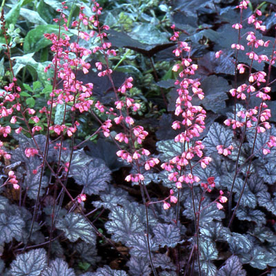 Heuchera x 'Raspberry Ice'