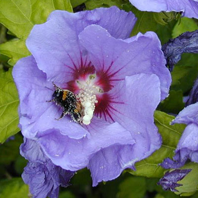 hibiscus syriacus 39 rose satin 39 estabrook 39 s. Black Bedroom Furniture Sets. Home Design Ideas