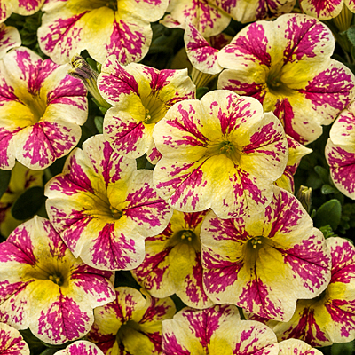 Calibrachoa 'Superbells Holy Moly!'