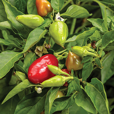 Pepper 'Fire Away Hot and Heavy'