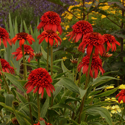 Echinacea purpurea 'Hot Papaya'