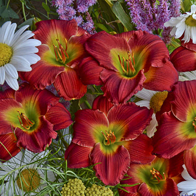 Hemerocallis 'Red Hot Returns'