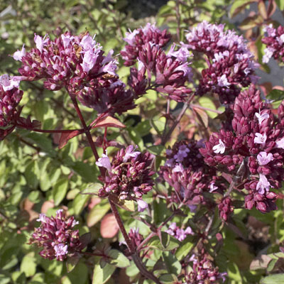 Origanum vulgare 'Hot & Spicy'