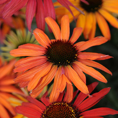 Echinacea x 'Hot Summer'