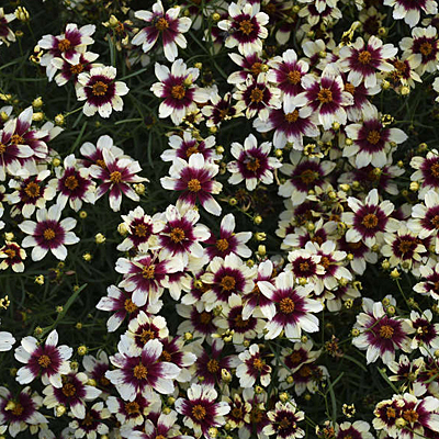 Coreopsis v. 'Red Hot Vanilla'
