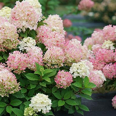 Hydrangea p. 'Fire Light Tidbit'