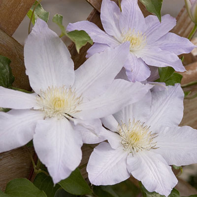 Clematis 'Ice Blue'