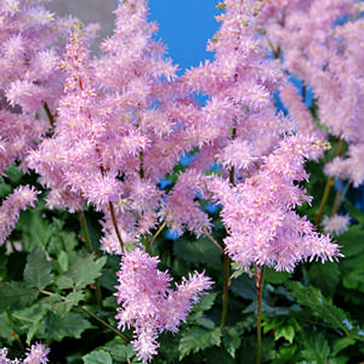 Astilbe arendsii 'Ice Cream'