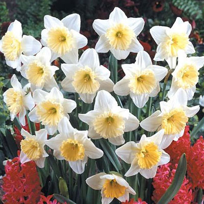 Narcissus Large Cup 'Ice Follies'