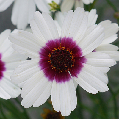 Coreopsis x 'Ice Wine'