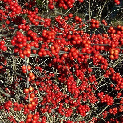 Ilex v. 'Winter Red'