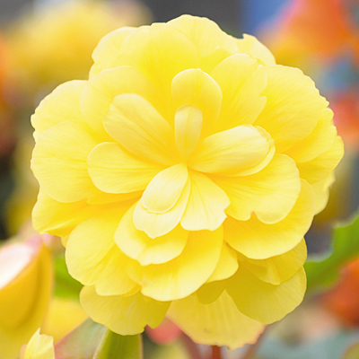 Begonia 'Illumination Lemon'