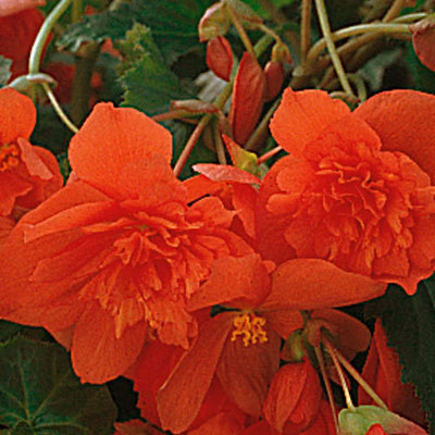 Begonia 'Illumination Orange'