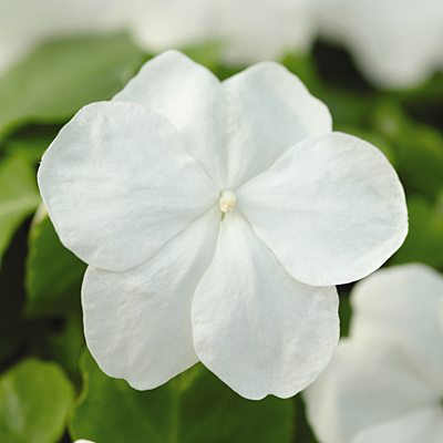 Impatiens 'Super Elfin White'