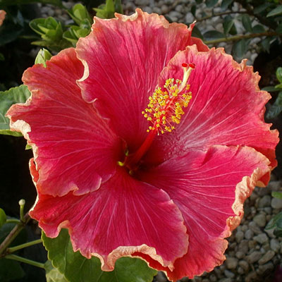 Hibiscus rosa-sinensis 'Ingenue Collection'