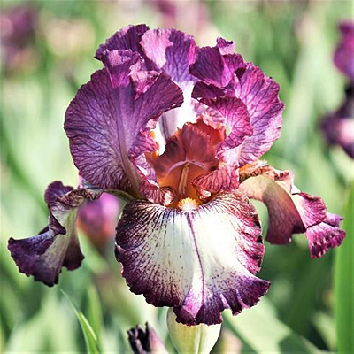 Iris g. 'Innocent Star'