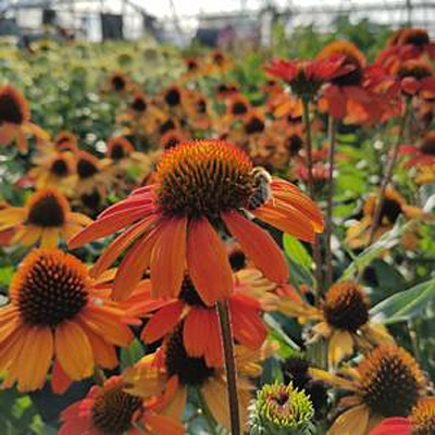 Echinacea x 'Kismet Intense Orange'