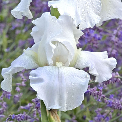 Iris g. 'Immortality'