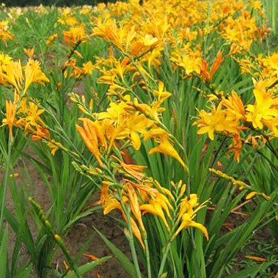 Crocosmia 'Irish Sunset'