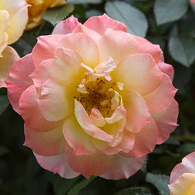Rosa 'Oso Easy Italian Ice'