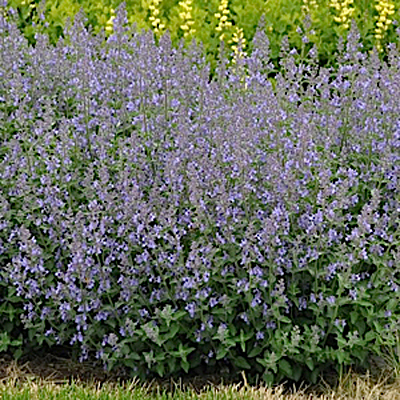 Nepeta x f. 'Junior Walker'