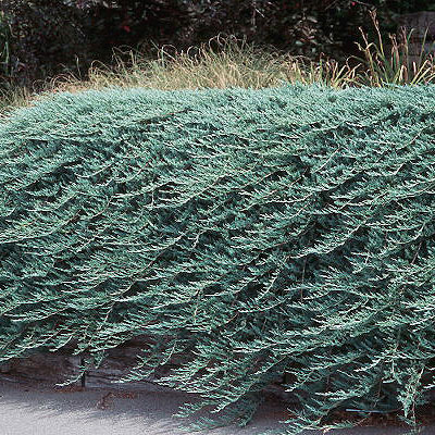 Juniperus horizontalis 'Bar Harbor'