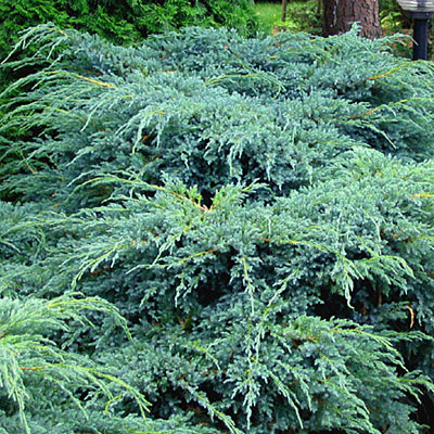 Juniperus sq. 'Blue Carpet'