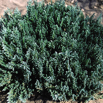 Juniperus sabina 'Blue Forest'